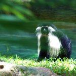 angolian colobus lowry park zoo sm