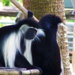 angolian colobus2 lowry park zoo sm