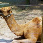 camel lowry park zoo sm