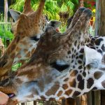 spring break family activities; feeding giraffes at Lowry Park Zoo; img; Candice Collins