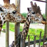 giraffes female and male lowry park zoo sm