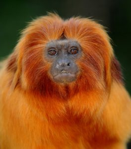 Golden Lion Tamarin - Miami Metro Zoo