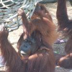 orangatangs lowry park zoo 101 sm