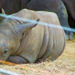 rhino baby lowry park zoo sm