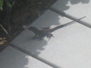 Gecko in Maui