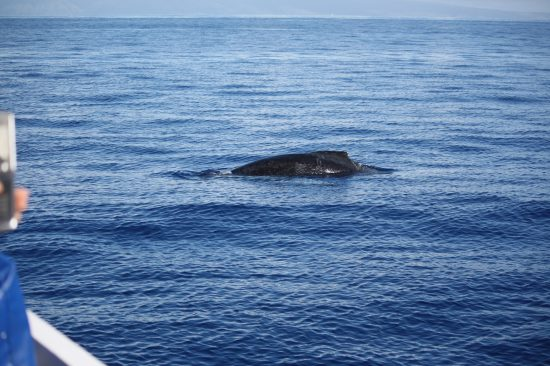 whale watching in Maui, photo copyright Stephany Wiestling, all use must link to BestKidFriendlyTravel.com