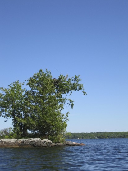 Osprey's nesting on island, Stoney Lake, the Kawarthas